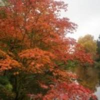 Automne japonais : photos des érables rouges